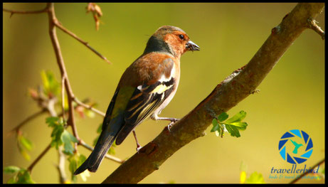 Chaffinch Bird Buchfink on an tree