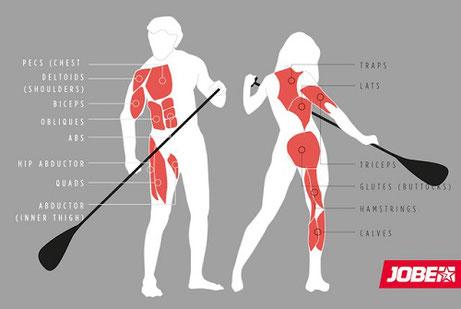 Aktive Muskelgruppen beim Stehpaddeln / SUP