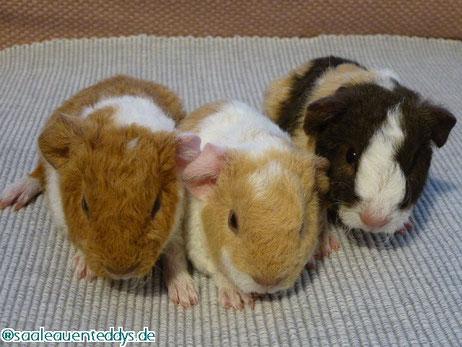 US-Teddy, buff-weiß, creme-weiß, schoko-creme-weiß