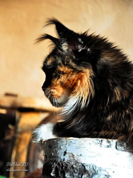 Chio-Chio-San Oldbluz кошка мейн-кун черная черепаховая с белым MCO f