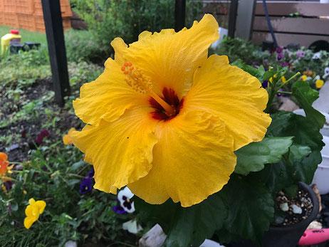 庭に咲いているハイビスカスに元気をもらって