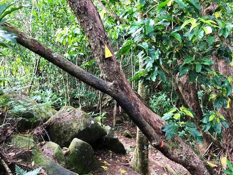 Hiking Raemaru, Raemaru Rarotonga, Hiking in Rarotonga,