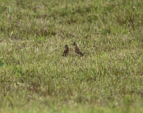 ●2羽のヒバリ(調布飛行場の中にいる鳥をフェンス越しに6月7日撮影)