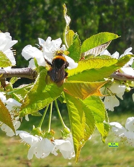 Hummel-Königin beim Osterbrunch im Kirschbaum von K.D. Michaelis