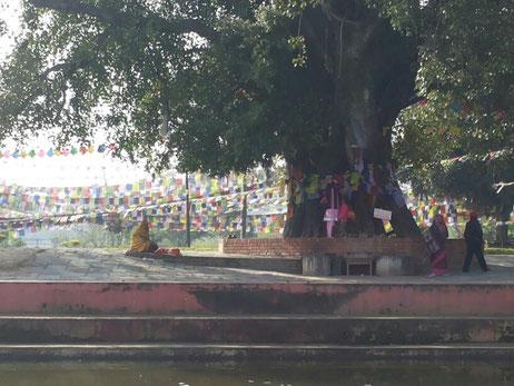 Unter diesem Baum wurde Buddha geboren...wenn der sprechen könnte...