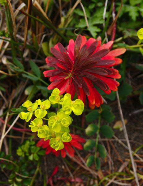 ハギクソウの花と昨年の葉を上から見てみた