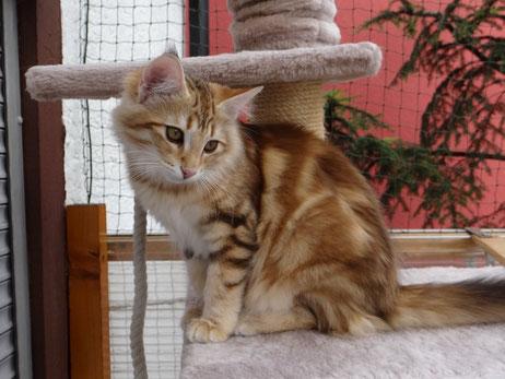 Xenia vom Bergwald, Norwegische Waldkatze, ambertabby-classic, 5 Monate alt