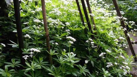 Waldmeister in voller Blüte