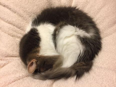 丸くなったネコ ネコの寝姿 寒くなってきたね