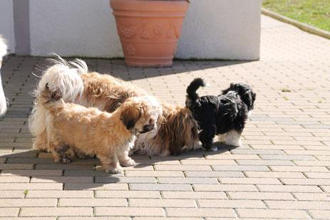 Familienfreundliche Havaneser mit Ahnentafeln, Züchterfamilie für die Hunderasse Havaneser, Havaneser Nähe Luxemburg/Belgien/Niederlande aus Bauler in Rheinland-Pfalz, Deutschland!
