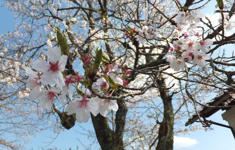現在、3分葉桜くらいでしょうか