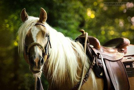"""Fotovorlage Quarter Horse """"Nuke"""" mit Bosal und Westernsattel  (Foto: Christiane Heese)"""