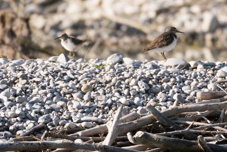 Flussuferläufer-Altvogel mit nicht flüggem Jungvogel, Foto: Fabian Unger