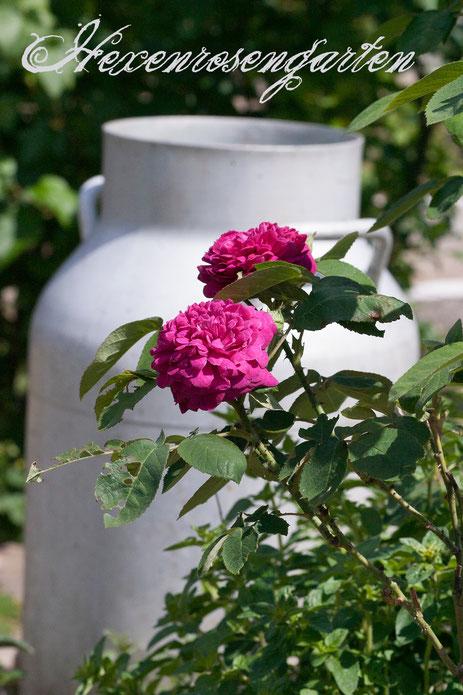 Rosen Hexenrosengarten Kräuter Damaszenerrose Rose de Resht