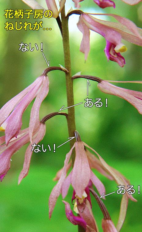 サイハイランの花柄子房は1つおきにねじれる