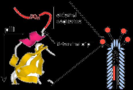 図3 外来ペプチド配列がpIIIタンパク質のN末端に提示される。