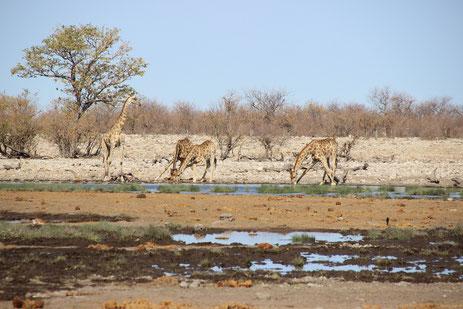 scéance de gymnastique pour les girafes