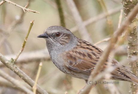 Heckenbraunelle (Prunella modularis) Adulter Vogel (Männchen ?) [Mai]