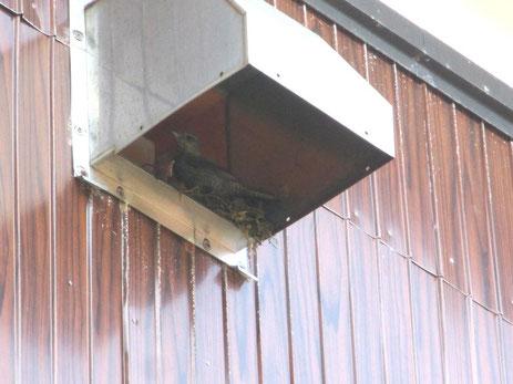 鳥の巣 イソヒヨドリの雌