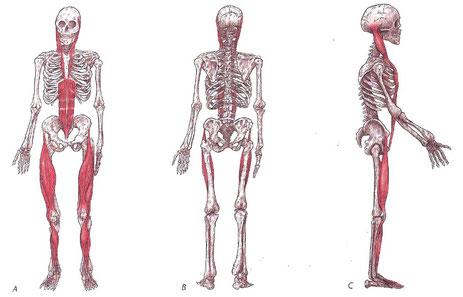 Oberflächliche Frontallinie (Myers, T.M., 2014, Anatomy Trains - Myofasziale Leitbahnen)