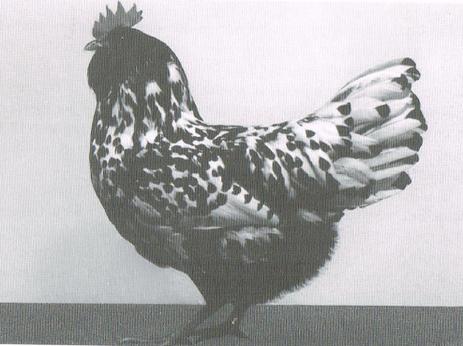0,1 Thüringer Barthuhn um 1990, Quelle: Mitteldeutsche Hühnerrassen 1993