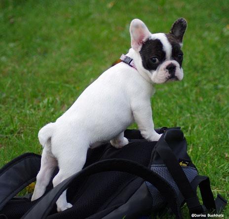French Bully Connection´s Eivy  auf Ihrem Rucksack verschafft sich einen Überblick...Oktober 2015
