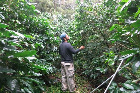 安田珈琲農園。コーヒーの木の様子を見る徳田泰二郎さん(写真:三枝克之)