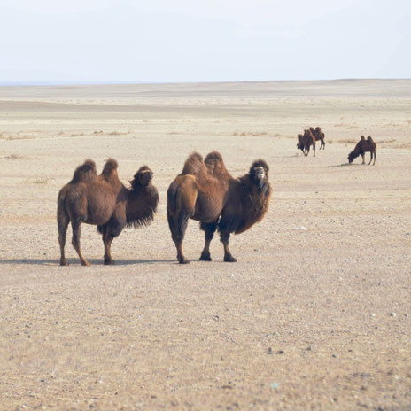 モンゴル/ゴビ砂漠(写真:Hishgee)