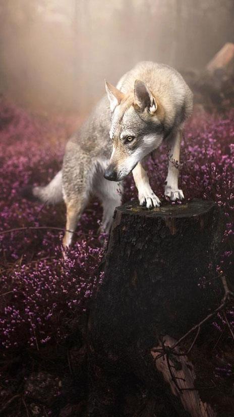 Wolfsmärchen anderer Art