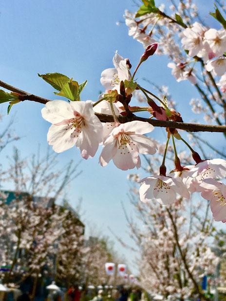 2016年3月31日 段葛の桜