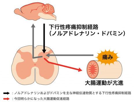 下行性疼痛抑制経路が痛みだけでなく、大腸運動も制御している可能性を示唆している。