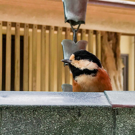 妙法山の野鳥 ヤマガラ