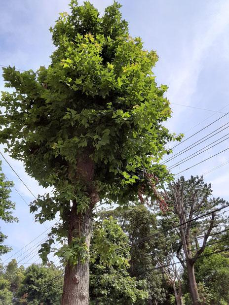 お店の前の街路樹の写真