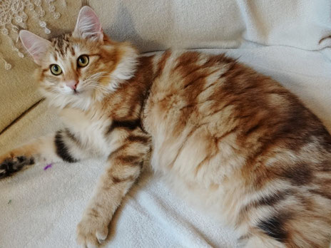 Xenia vom Bergwald, Norwegische Waldkatze, ambertabby-classic, 8 Monate alt