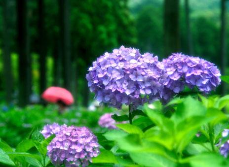 6月のイメージ 紫陽花