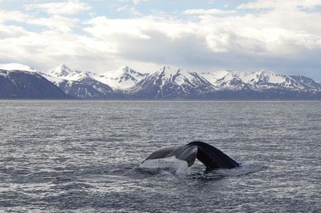 Wale bei Husavik