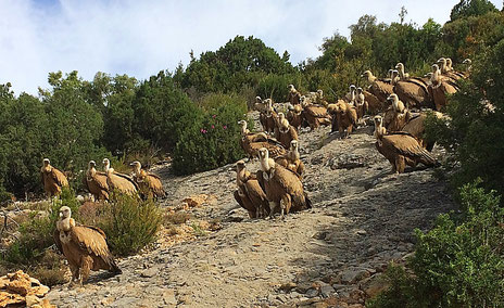Gänsegeier in den Vorpyrenäen