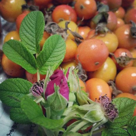 鍋島ハマナス園さんのハマナスの実と花