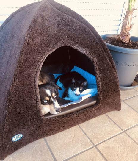 Mini Aussie Hündin Fritzi mit Katze in ihrer Kuschelhöhle.