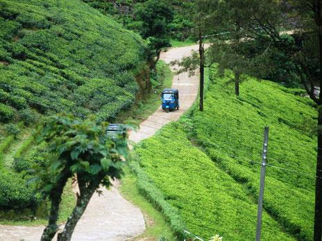 Tuktuks rijdend tussen de vele theevelden op Sri Lanka