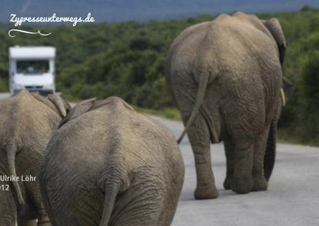 Verkehrshindernis in Südafrika: Elefanten