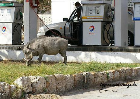 Tankstelle mit Warzenschwein in Namibia