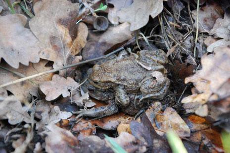 NAJU 2019-03-15_Erdkröten auf dem Weg zum Laichgewässer, Weibchen trägt Männchen_BButsch_ws_DSC_0636.jpg
