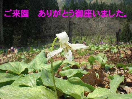 別れを告げる「白花かたくり」