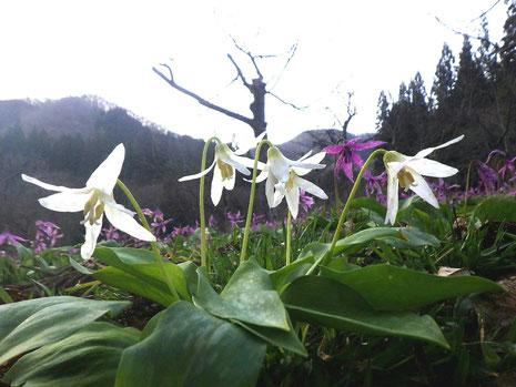 白花かたくり 白花カタクリ