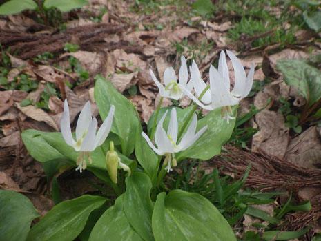 白花カタクリ 白花かたくり