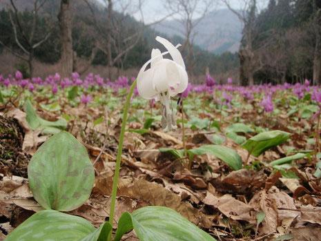 白花かたくり  雄しべの色が4日前より変化している。
