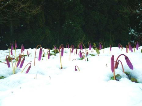 雪の中のカタクリ