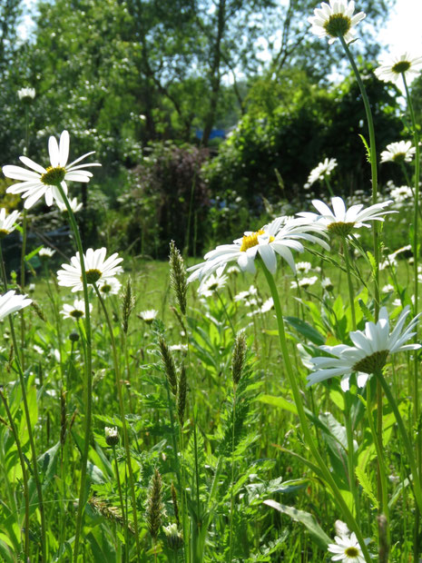 Margeriten Blumenwiese