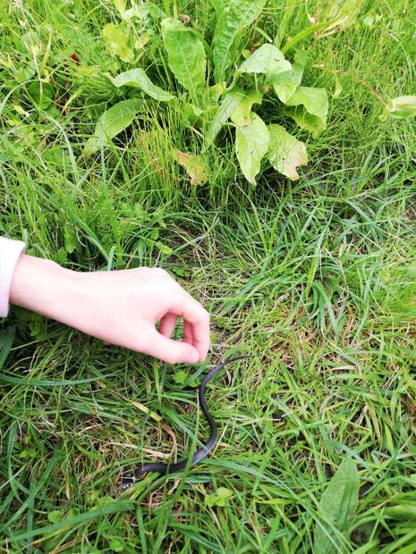 Ringelnattern Nachwuchs im Garten